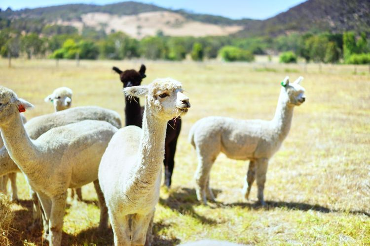 Softfoot Alpaca Farm