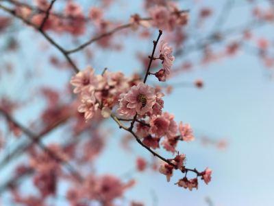 Xunlong River Cherry Blossom Valley