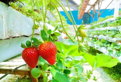 雲頂草莓農場