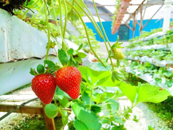 Genting Strawberry Farm