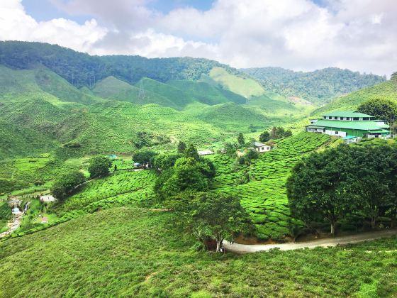 Tanah Rata Bharat Tea Plantation (Cameron Valley)