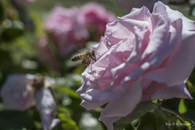 市立玫瑰園4