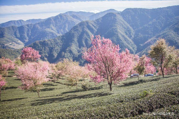 Wuliang Mountain Sakura Valley2