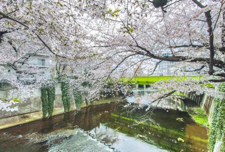 柏尾川堤の桜