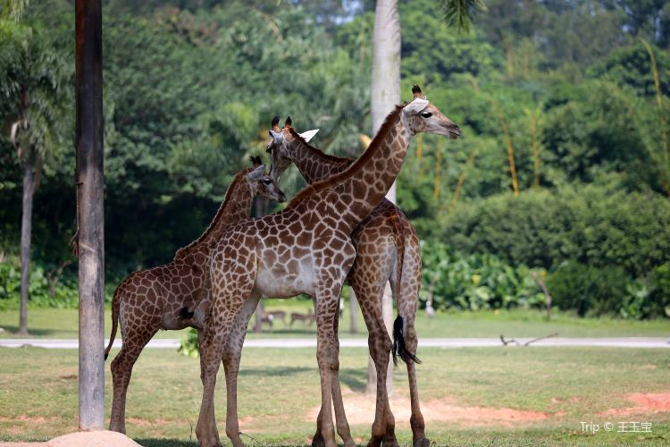 Chimelong Safari Park2