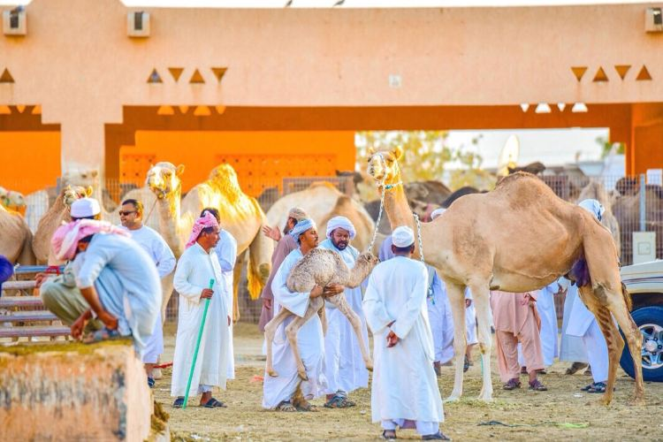 Al Ain Camel Market1