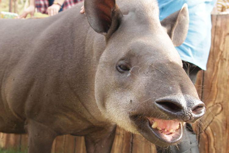 南美貘展區2