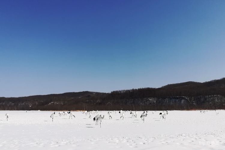 阿寒國際丹頂鶴中心1