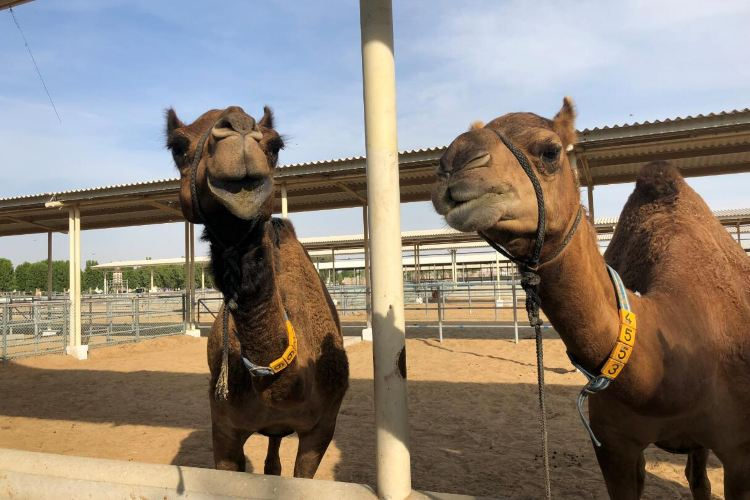 Dubai Camelicious Farm3