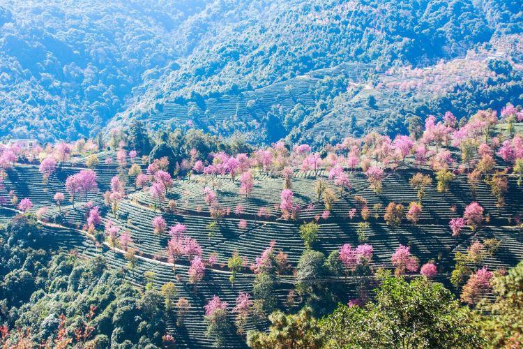 Wuliang Mountain Sakura Valley4