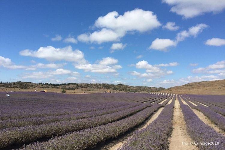 Wanaka Lavender Farm2