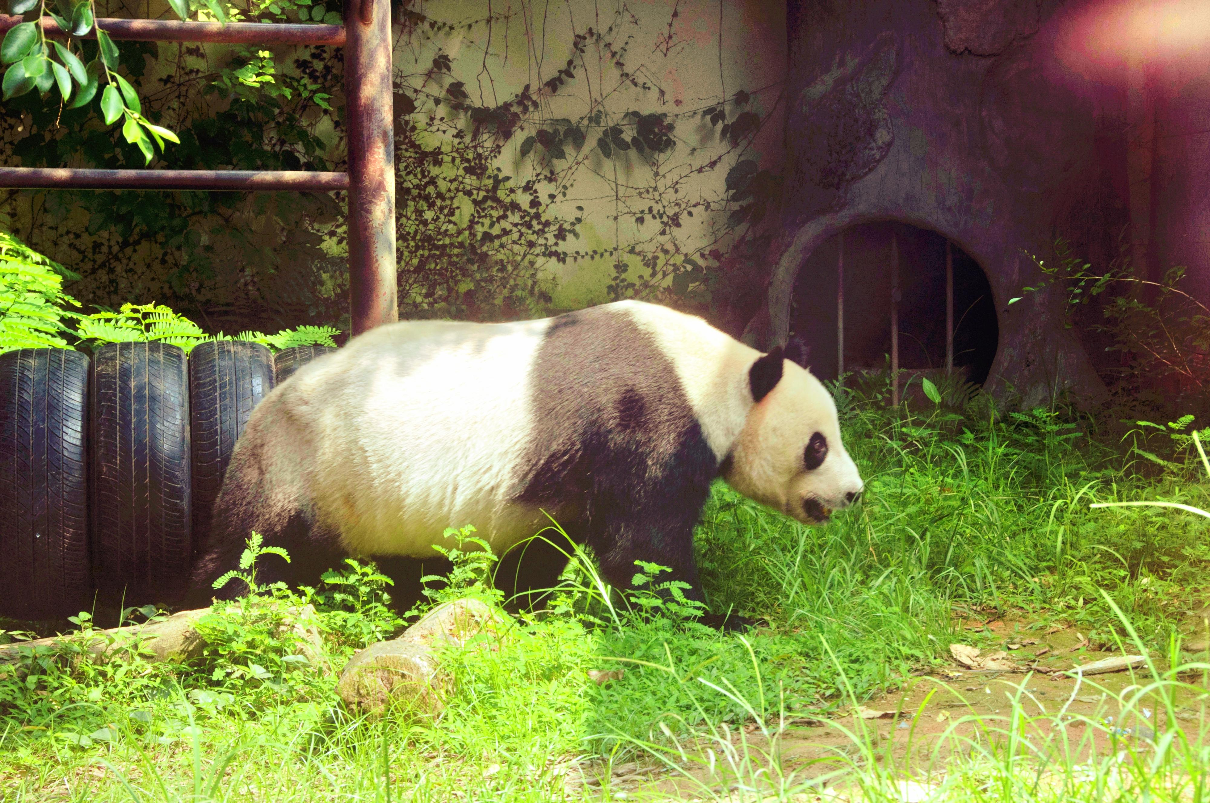 Straits Giant Panda Research And Exchange Center Travel Guidebook Must Visit Attractions In Fuzhou Straits Giant Panda Research And Exchange Center Nearby Recommendation Trip Com