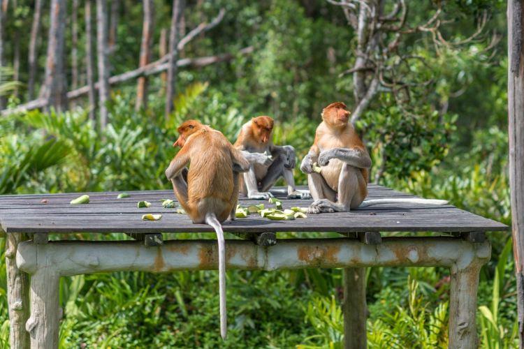 拉蔔灣長鼻猴保護區4
