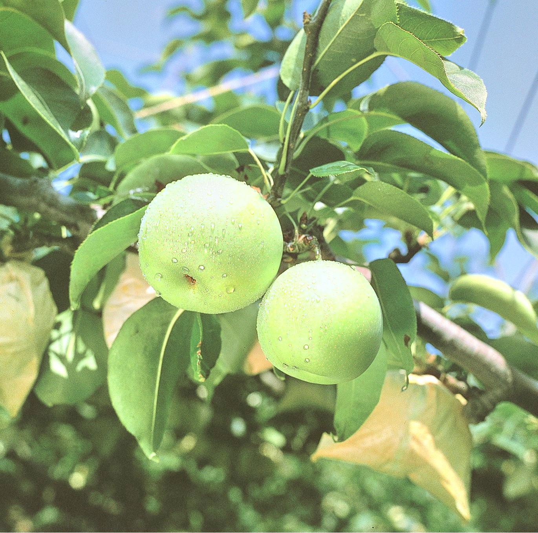 摘梨鳥取味果園