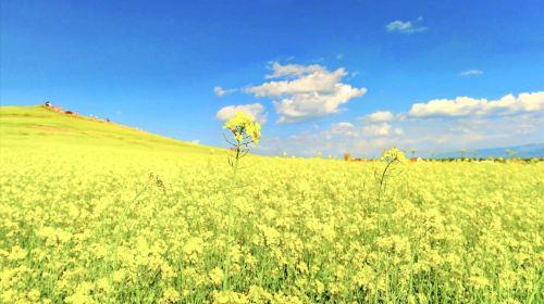 Menyuan Rapeseed Flower Field