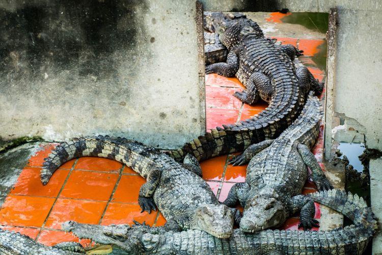 Battambang Crocodile Farm4