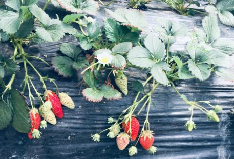 Xiangtian Strawberry farm