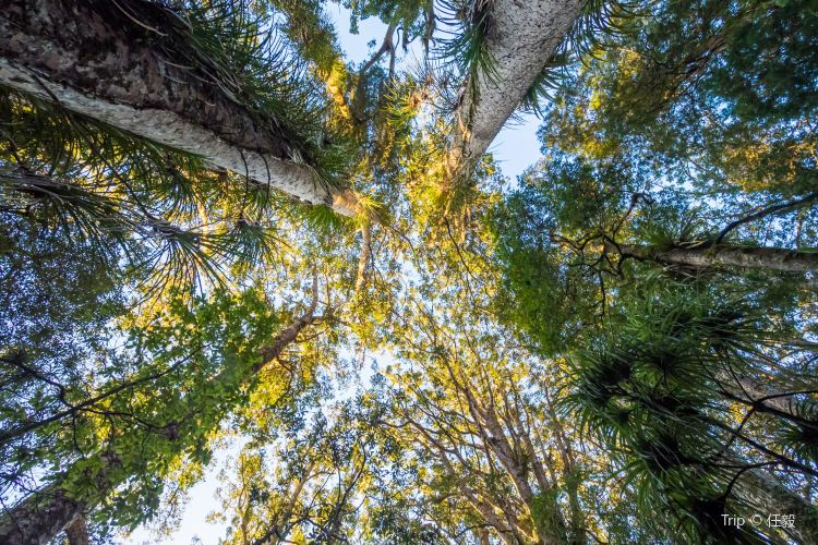 懷奧貝殼杉樹林1