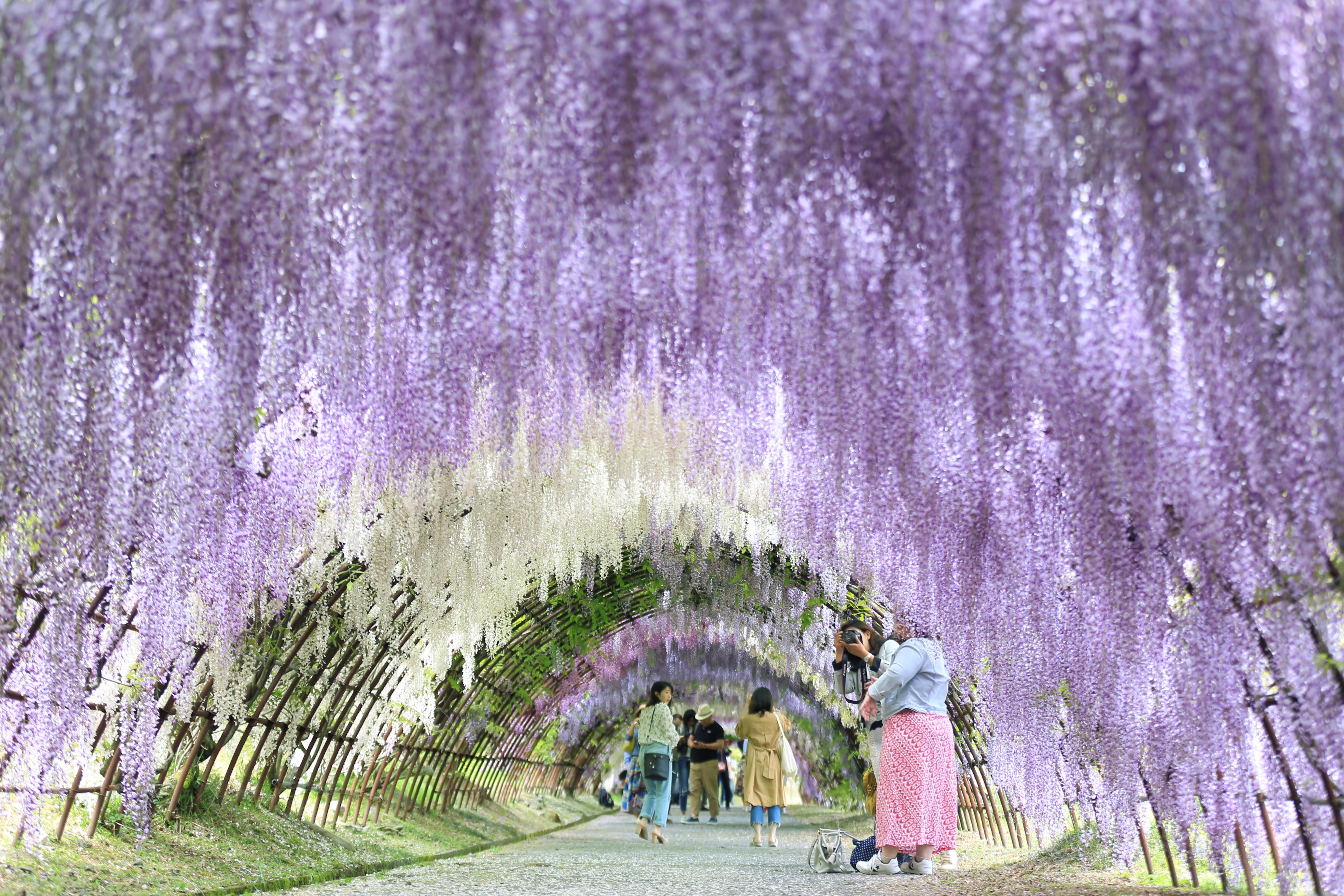 Kawachi Wisteria Garden Travel Guidebook Must Visit Attractions In Kita Kyushu Kawachi Wisteria Garden Nearby Recommendation Trip Com