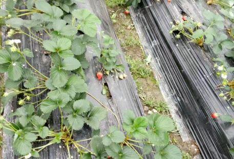 Fangxiang Strawberry farm