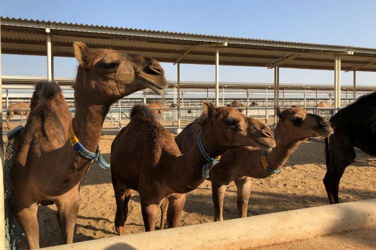 Dubai Camelicious Farm2