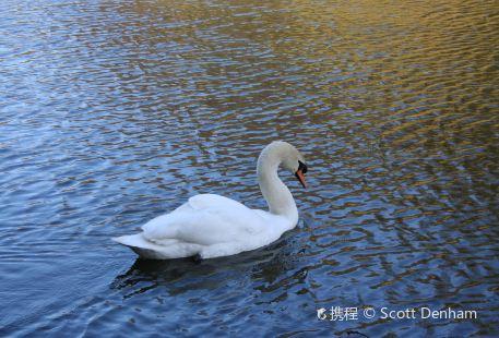 Swan Pond