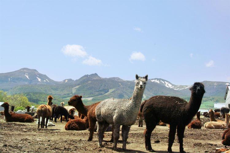 那須羊駝牧場
