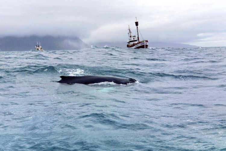 The Husavik Whale Museum
