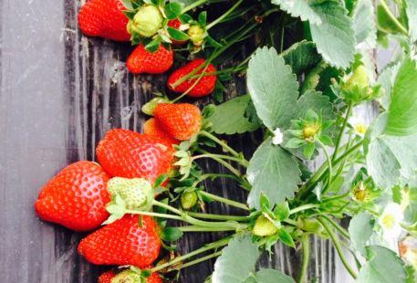 Guangconglu Strawberry farm