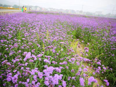Flower Fields of Dipu Village