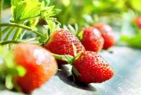Qingyuan Wei'e Nanpu Strawberry farm Farm