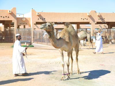 艾恩駱駝市場