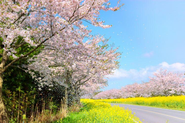 서귀포 벚꽃의길