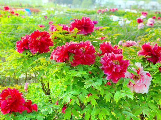 漢牡丹園景區