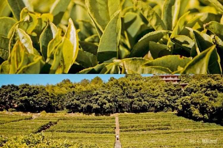 Yannanfei Tea Fields4