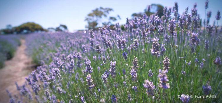 Emu Bay Lavender1