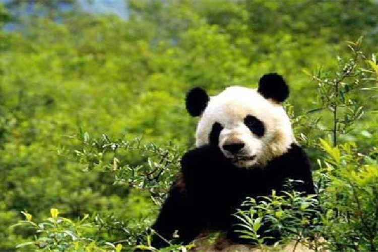 Foping Panda Valley1