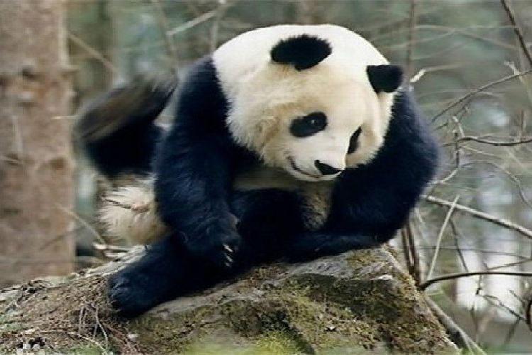 Foping Panda Valley4