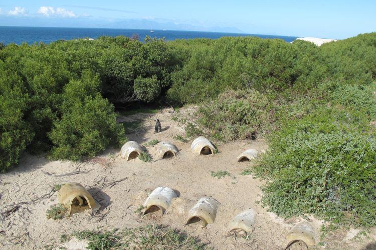 南非企鵝生態保護區1