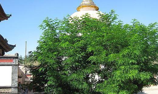 塔爾寺菩提樹