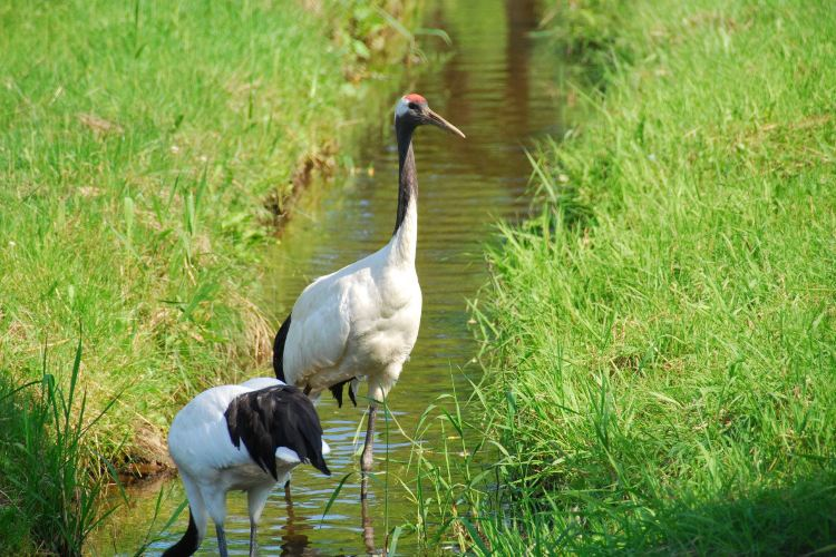 Kushiro City Red-crowned Crane Natural Park4