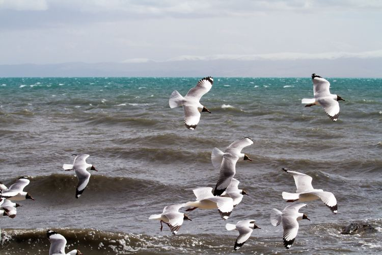 Bird Island of Qinghai Lake1