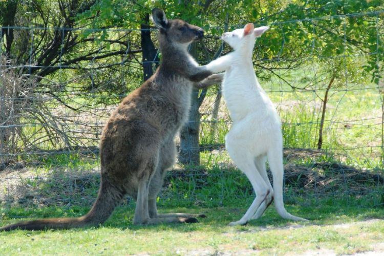 Maru Koala and Animal Park1