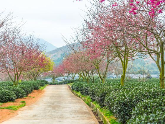 Yongfu Cherry Blossom Garden