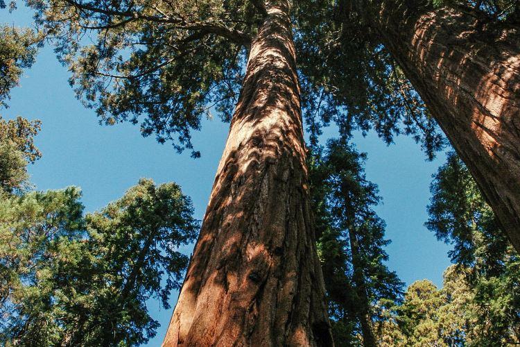 紅杉樹國家公園1