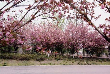 Qingbai River Cherry Blossom Festival