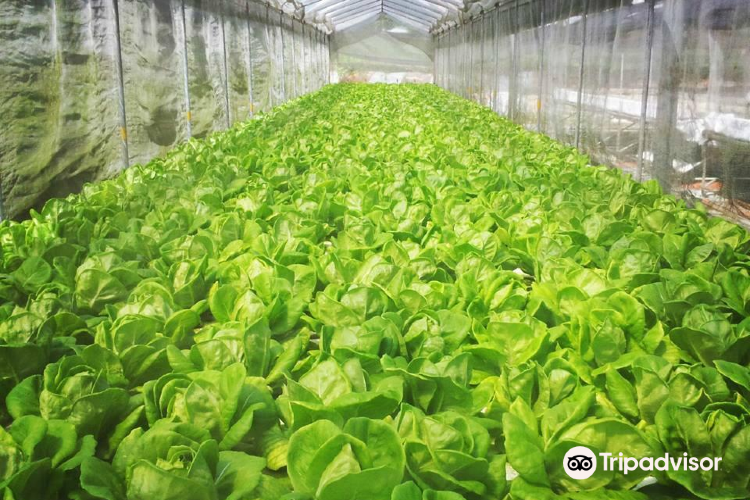 Oh Chin Huat Hydroponic Farms1