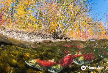 Adams River Salmon Run