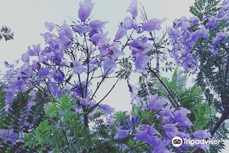ジャカランタの花2
