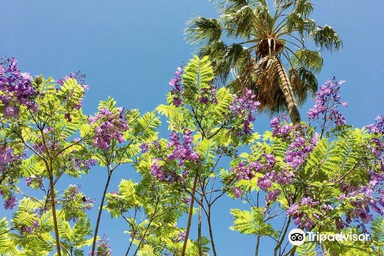 ジャカランタの花1